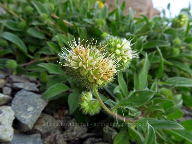 narrow-sepal phacelia (Phacelia leptosepala) [Knapsack Pass, Mount Rainier National Park, Washington]