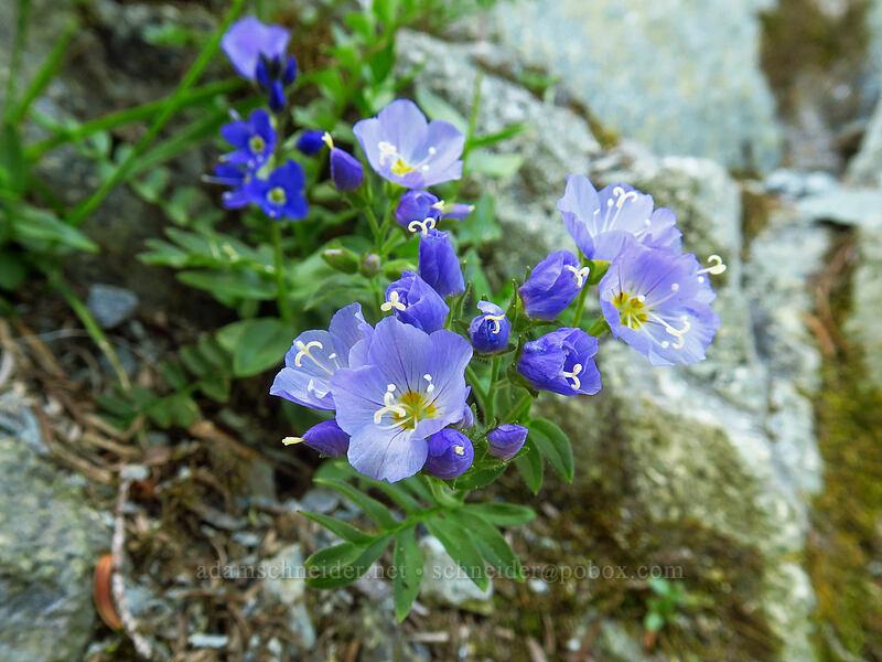 showy Jacob's-ladder (Polemonium californicum) [Knapsack Pass, Mount Rainier National Park, Washington]