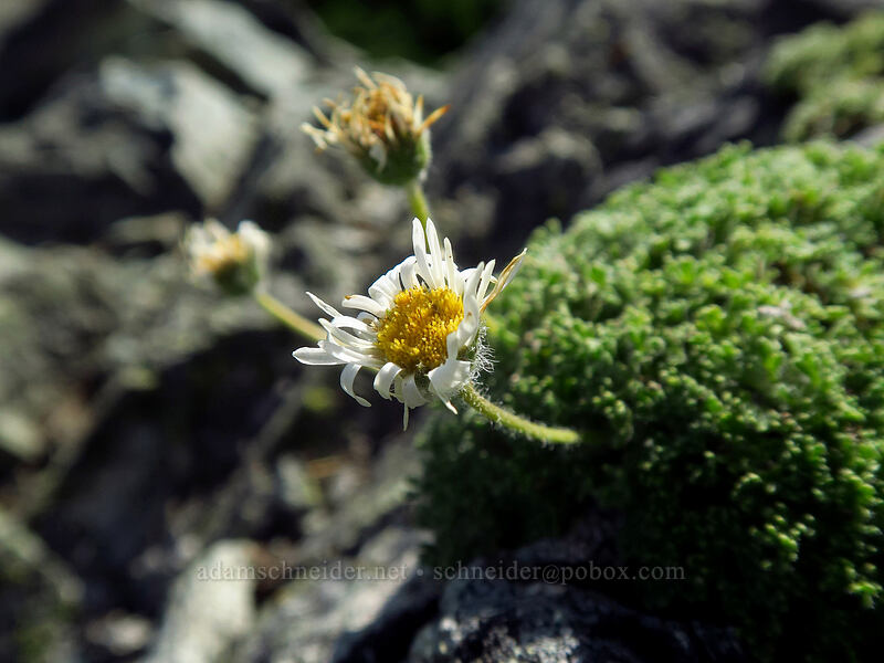 cut-leaf fleabane (Erigeron compositus) [Knapsack Pass, Mount Rainier National Park, Washington]