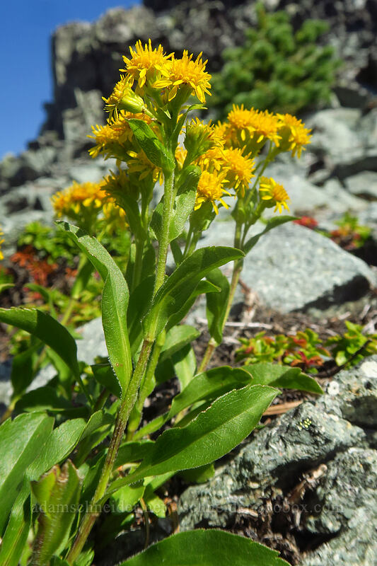 northern goldenrod (Solidago multiradiata) [Knapsack Pass, Mount Rainier National Park, Washington]