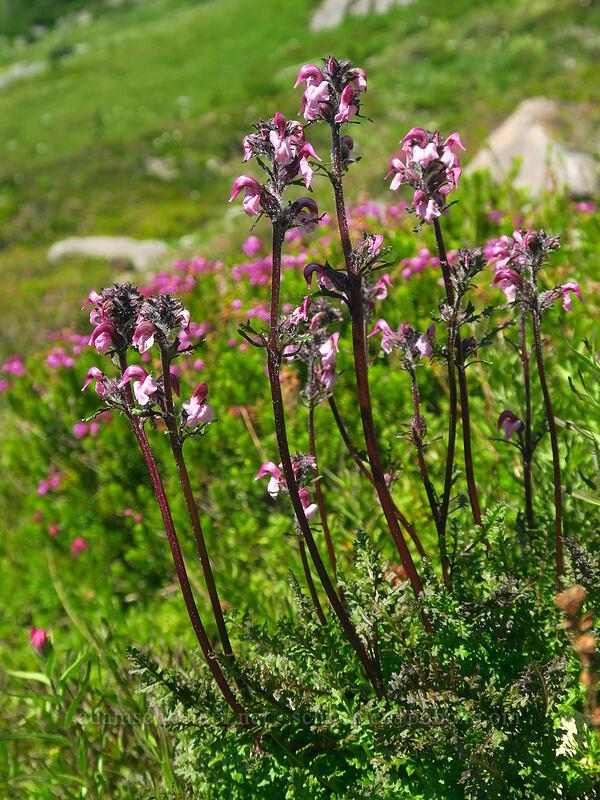 bird's-beak lousewort (Pedicularis ornithorhyncha) [Knapsack Pass Trail, Mount Rainier National Park, Washington]