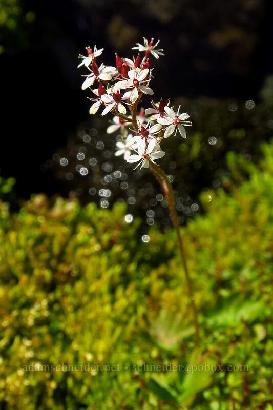 heart-leaf saxifrage (Micranthes nelsoniana (Saxifraga nelsoniana)) [Knapsack Pass Trail, Mount Rainier National Park, Washington]
