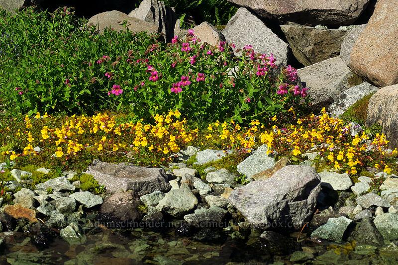 two kinds of monkeywflower (Erythranthe lewisii (Mimulus lewisii), Erythranthe caespitosa (Mimulus tilingii var. caespitosus)) [Knapsack Pass Trail, Mount Rainier National Park, Washington]