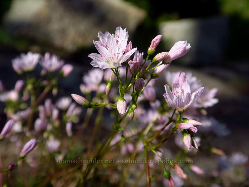Columbia lewisia (Lewisia columbiana) [Knapsack Pass Trail, Mount Rainier National Park, Washington]