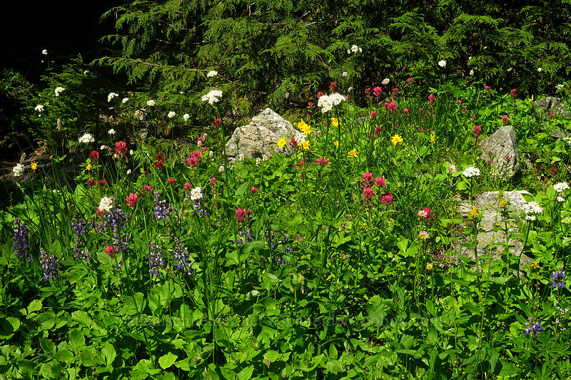 wildflowers (Lupinus latifolius, Castilleja parviflora var. oreopola, Ligusticum grayi, Bistorta bistortoides (Polygonum bistortoides), Arnica sp.) [Knapsack Pass Trail, Mount Rainier National Park, Washington]