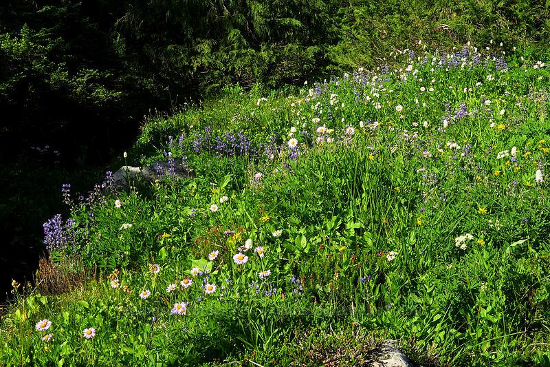 wildflowers (Lupinus latifolius, Erigeron glacialis var. glacialis, Ligusticum grayi, Bistorta bistortoides (Polygonum bistortoides), Arnica sp.) [Knapsack Pass Trail, Mount Rainier National Park, Washington]