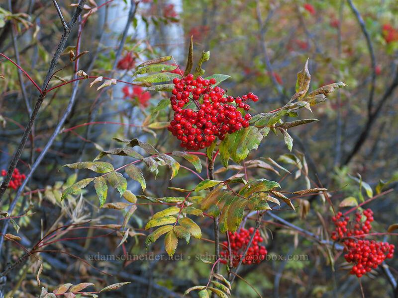 mountain-ash berries (Sorbus scopulina) [Mill A Basin Trail, Mount Olympus Wilderness, Utah]