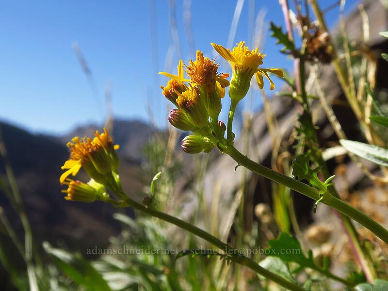 Rocky Mountain groundsel (Packera streptanthifolia (Senecio streptanthifolius)) [Albion Basin, Uinta-Wasatch-Cache National Forest, Utah]
