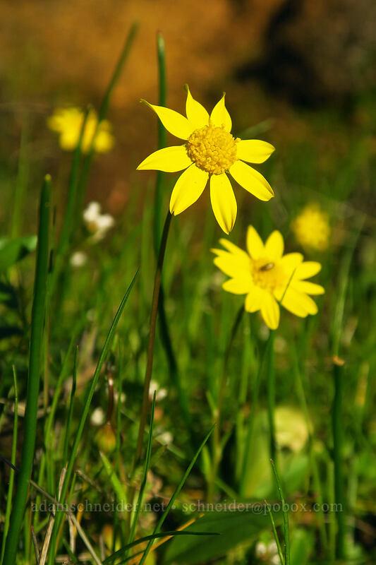 gold stars (Crocidium multicaule) [Old Ranch Road Trail, Klickitat County, Washington]