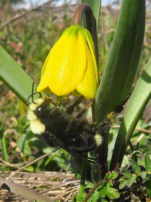yellow-faced bumblebee & yellow bells (Bombus vosnesenskii, Fritillaria pudica) [Marsh Hill, Wasco County, Oregon]