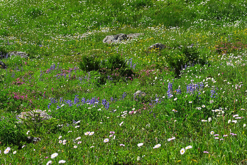 wildflowers [above Lake of the Angels, Olympic National Park, Washington]