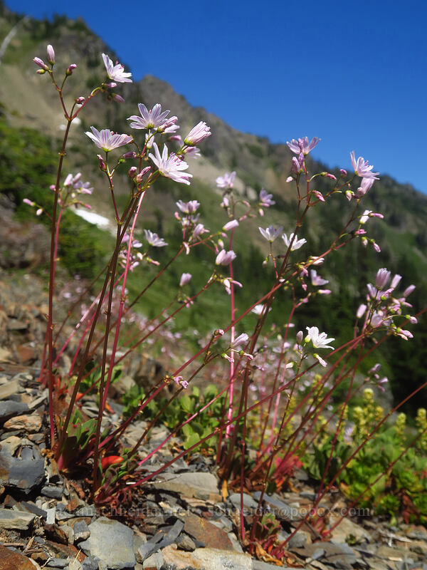 Columbia lewisia (Lewisia columbiana) [above Lake of the Angels, Olympic National Park, Washington]