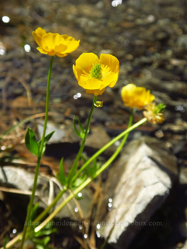 Suksdorf's snow buttercups (Ranunculus eschscholtzii var. suksdorfii) [above Lake of the Angels, Olympic National Park, Washington]
