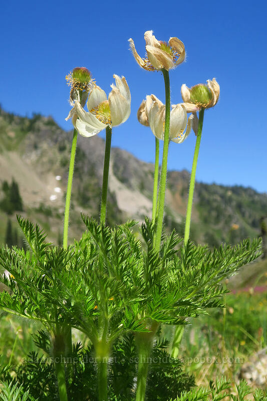 western pasqueflowers (Anemone occidentalis (Pulsatilla occidentalis)) [above Lake of the Angels, Olympic National Park, Washington]