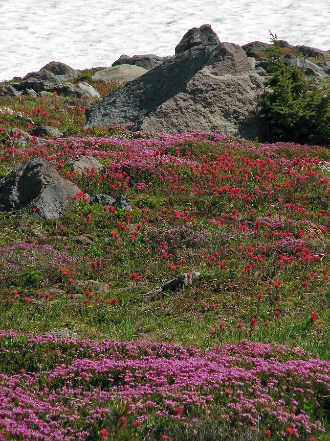 pink mountain heather & magenta paintbrush (Phyllodoce empetriformis, Castilleja parviflora var. oreopola) [McNeil Point Trail, Mt. Hood Wilderness, Oregon]