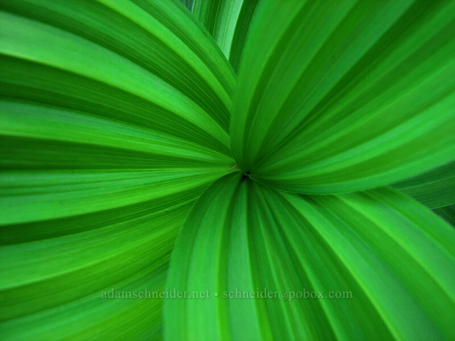 false hellebore leaves (Veratrum viride) [North of Dollar Lake, Mt. Hood Wilderness, Oregon]