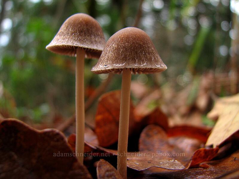 mushrooms [Coyote Canyon Trail, Klickitat County, Washington]