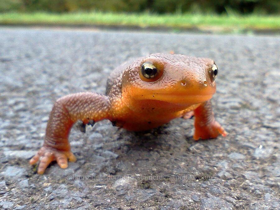 rough-skinned newt (Taricha granulosa) [Milo McIver State Park, Clackamas County, Oregon]