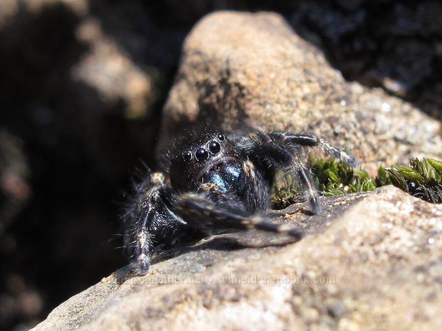 red-backed jumping spider (Phidippus johnsoni) [Hamilton Mountain Trail, Beacon Rock State Park, Washington]