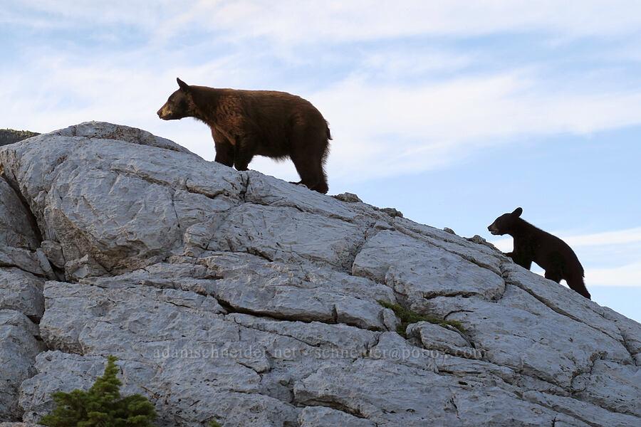 black bear & cub (Ursus americanus) [Bear's Hump Trail, Waterton Lakes National Park, Alberta, Canada]