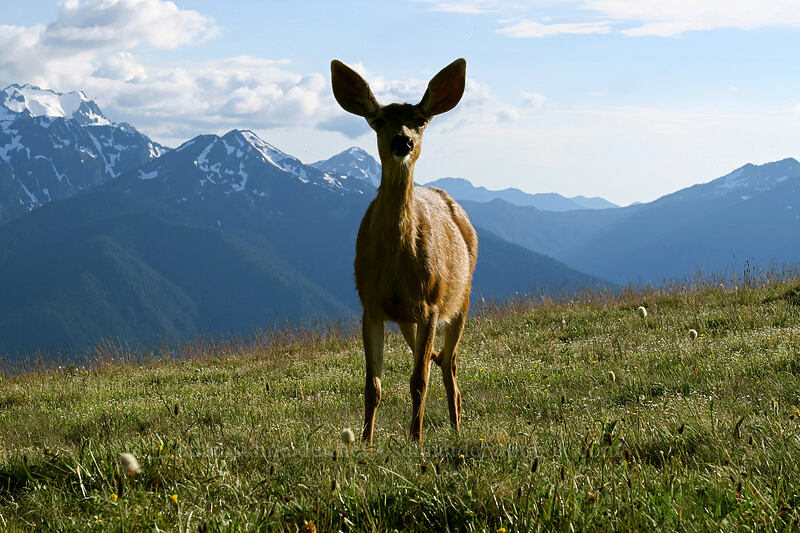 black-tailed deer (Odocoileus hemionus columbianus) [Hurricane Hill summit, Olympic National Park, Washington]