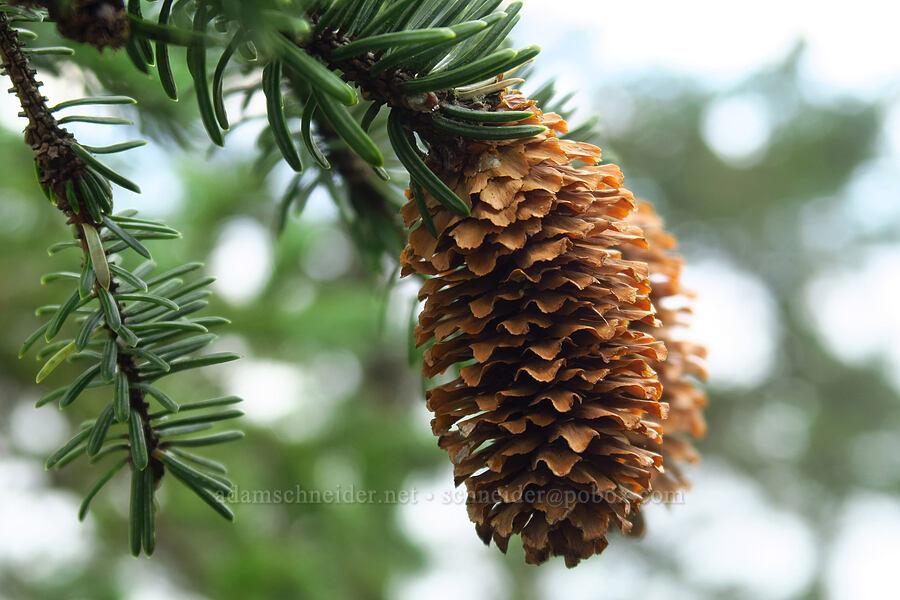 Sitka spruce cones (Picea sitchensis) [Cape Trail, Cape Lookout State Park, Oregon]
