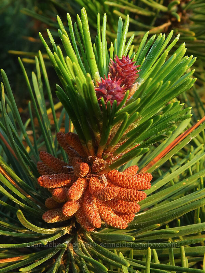 shore pine flowers (Pinus contorta ssp. contorta) [Ocean Terrace Condominiums, Lincoln City, Oregon]