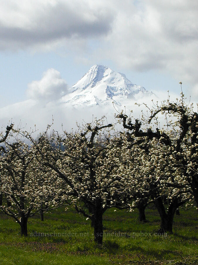 pear orchard & Mt. Hood [Cooper Spur Road, Hood River Valley, Oregon]