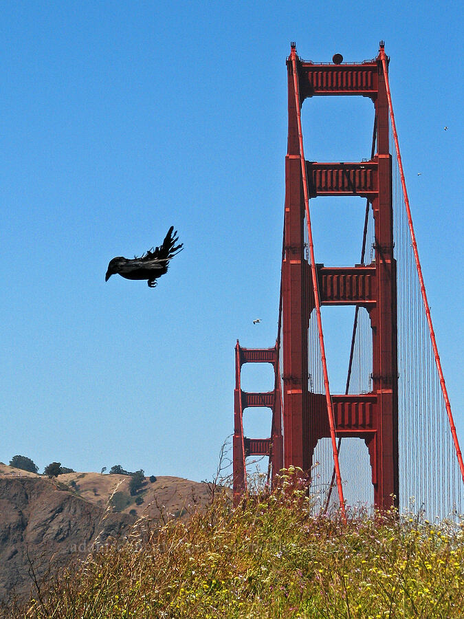 crow & Golden Gate Bridge [Fort Point, San Francisco, California]