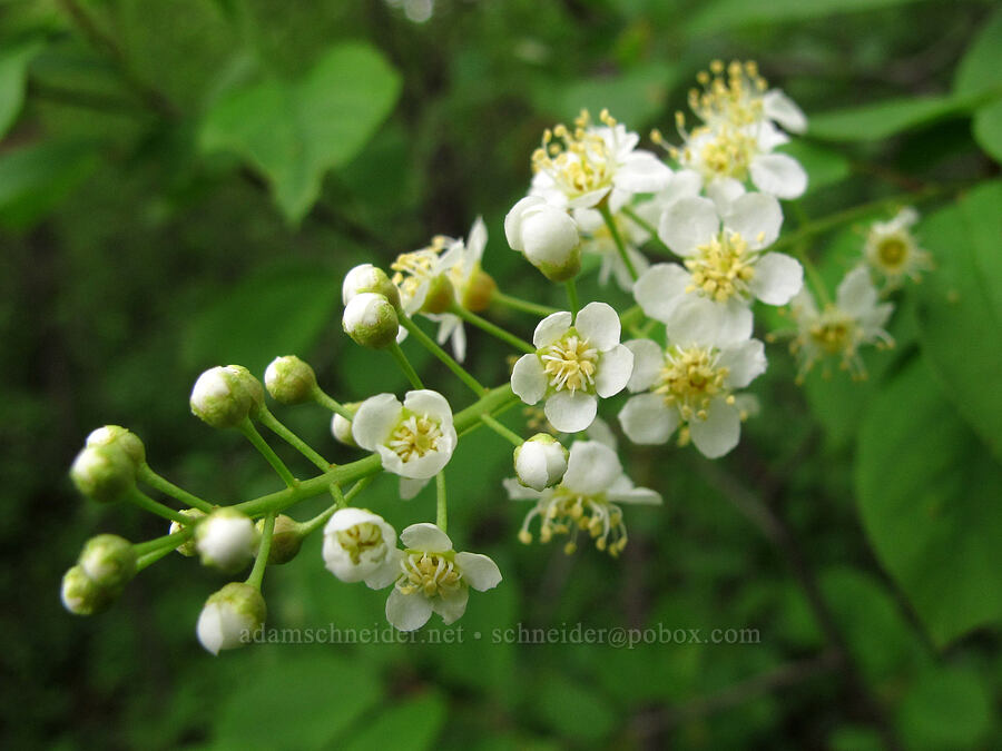 chokecherry flowers (Prunus virginiana) [County Road 42, Alexandria, Minnesota]