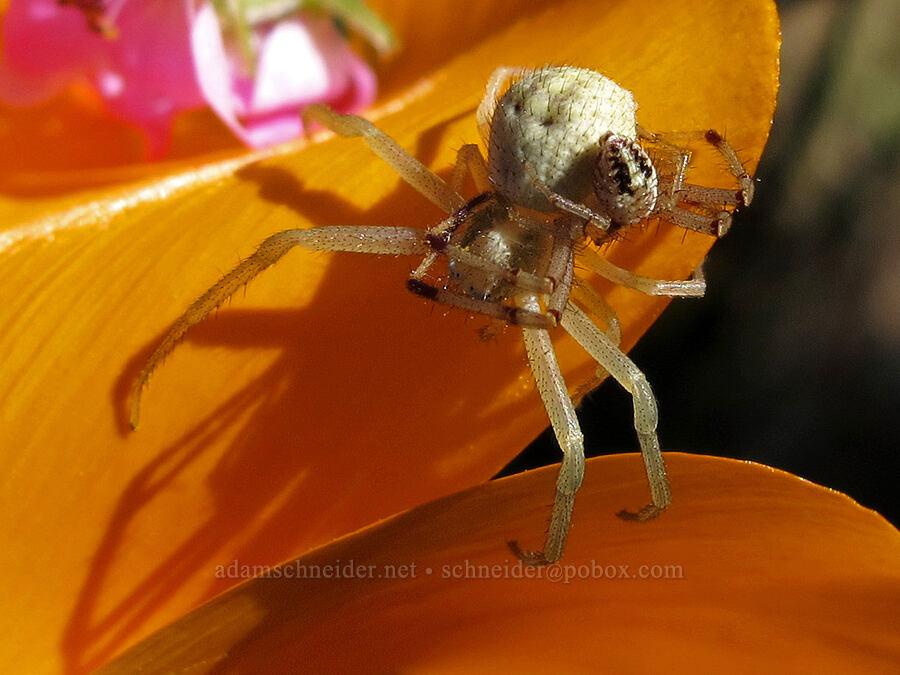 crab spiders on a California poppy (Mecaphesa sp., Eschscholzia californica) [Catherine Creek, Klickitat County, Washington]