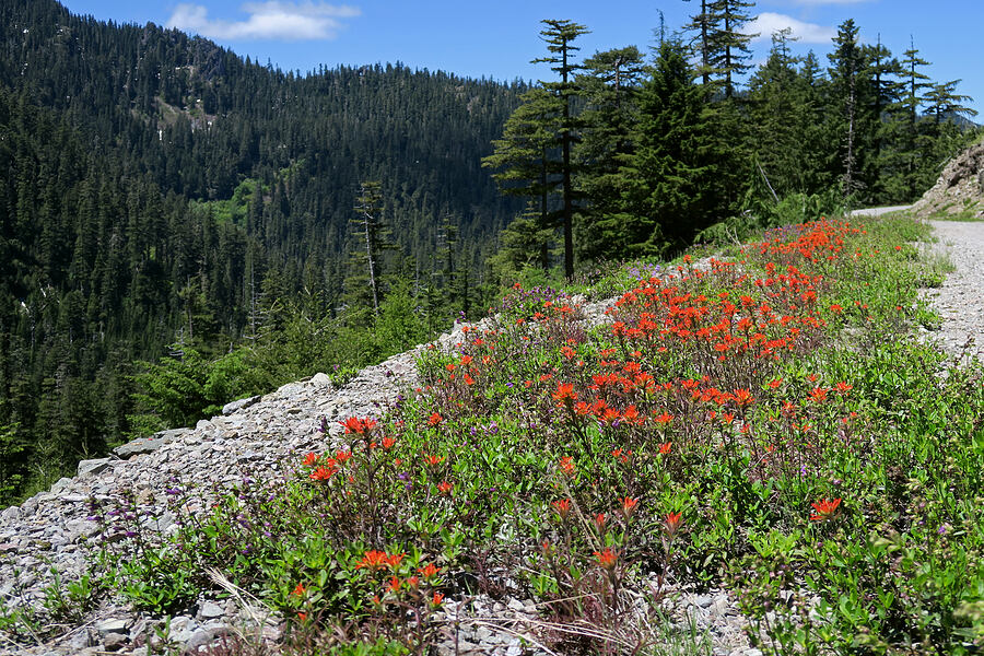 harsh paintbrush (Castilleja hispida) [Forest Road 2207, Willamette National Forest, Oregon]