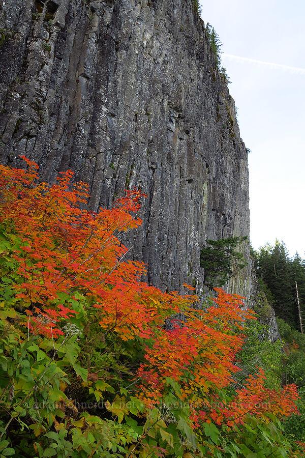vine maples in autumn (Acer circinatum) [Table Rock Trail, Table Rock Wilderness, Oregon]