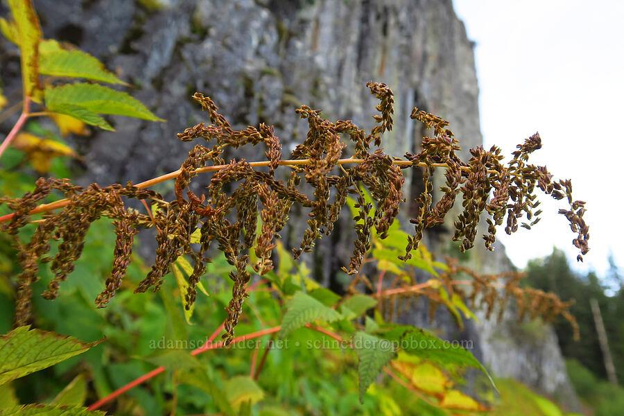 goat's beard seeds (Aruncus dioicus (Aruncus sylvester)) [Table Rock Trail, Table Rock Wilderness, Oregon]