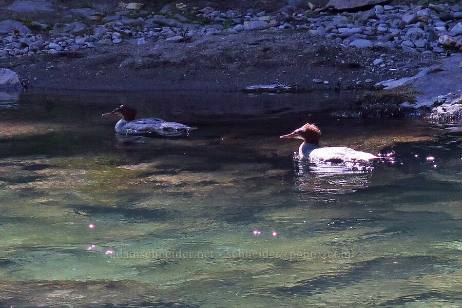 common mergansers (Mergus merganser) [Salmon River Trail, Mt. Hood National Forest, Oregon]
