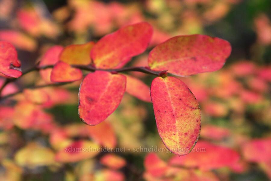 huckleberry leaves (Vaccinium sp.) [Falls Creek Trail, Gifford Pinchot National Forest, Washington]